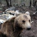 Bear in Velebit