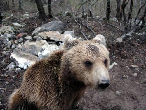Bear in Velebit