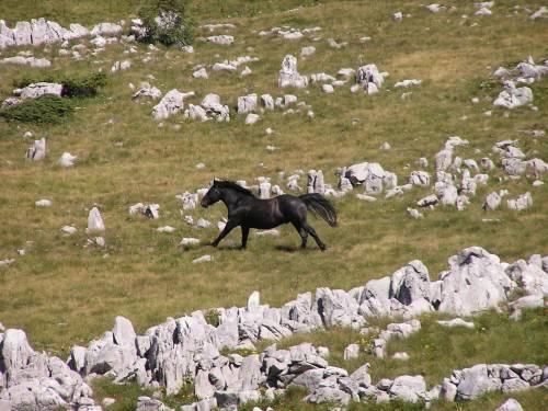 Wild horses Velebit