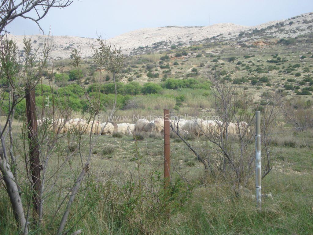 sheeps-on-island-pag