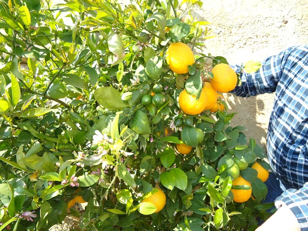 Lemon-Hvar