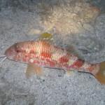 Fish Croatia
