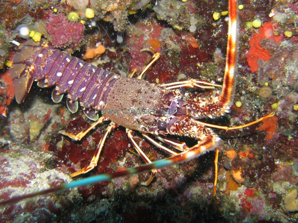 Lubster-Croatia