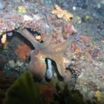 Octopus Croatia