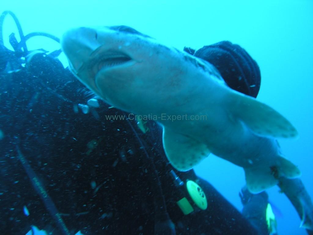 Shark Croatia