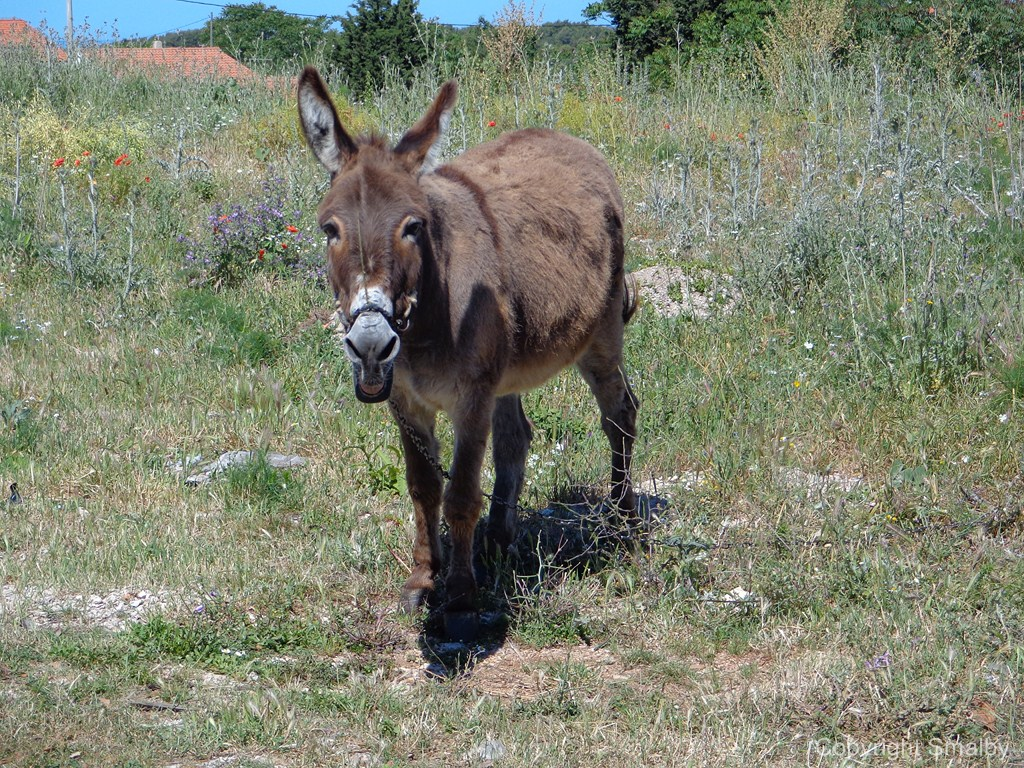 Donkey on Solta