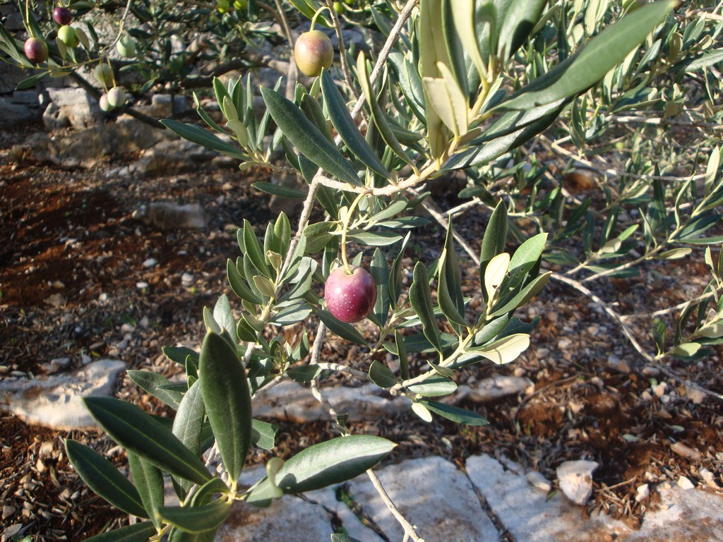 beatiful olives