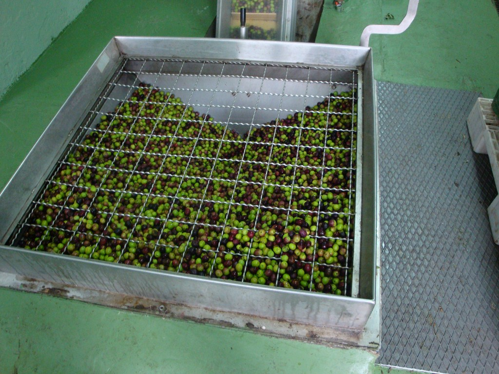 our olives ready to be pressed