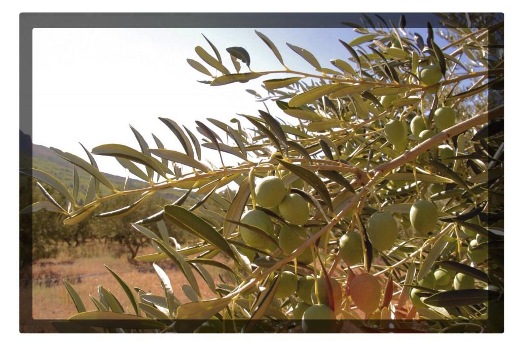 Olives dalmatia